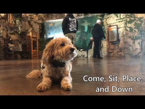 Best Dog Training Toledo, Ohio! 4 Year Old Mini Goldendoodle, Kona