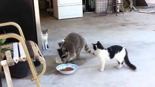 Енот ворует корм у котов