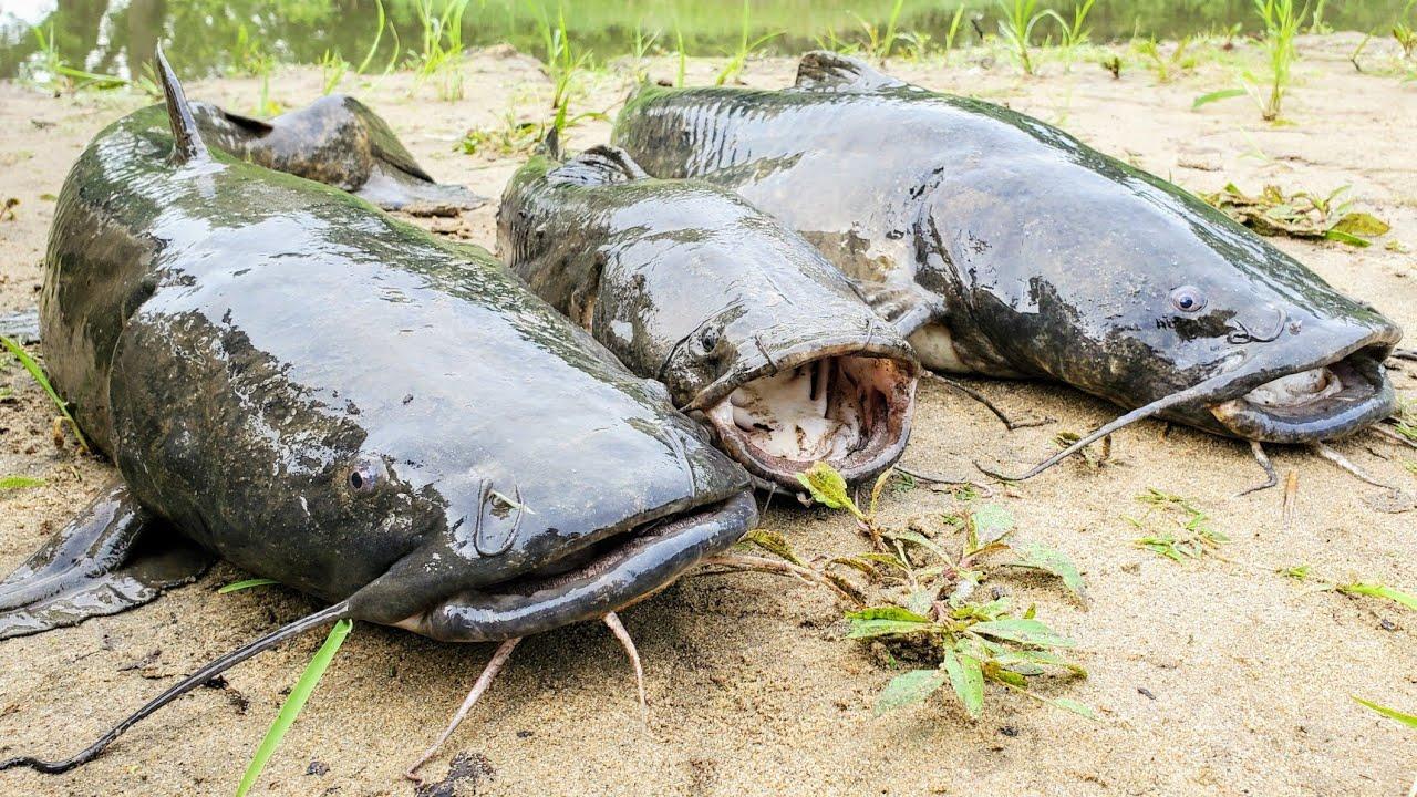Flathead Catfish CATCH AND COOK!! (All Night Sandbar Camping)