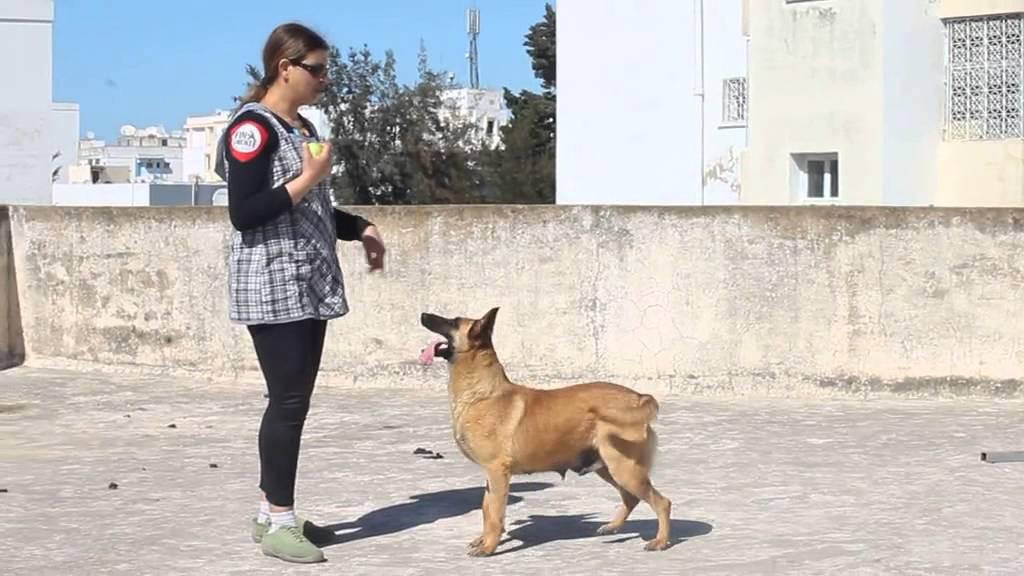 dressage chien 57