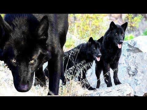 CALUPOH | El espectacular perro lobo de méxico  | La nueva raza de perro mexicano