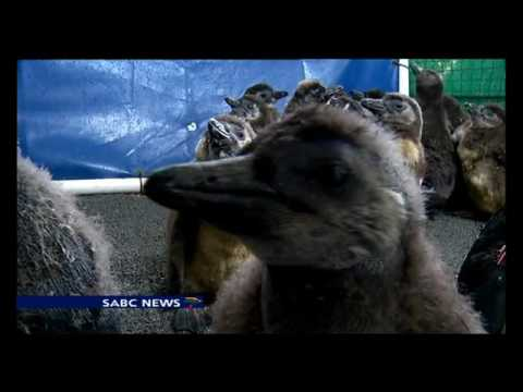 African penguin chicks rescued as fish stocks are depleted