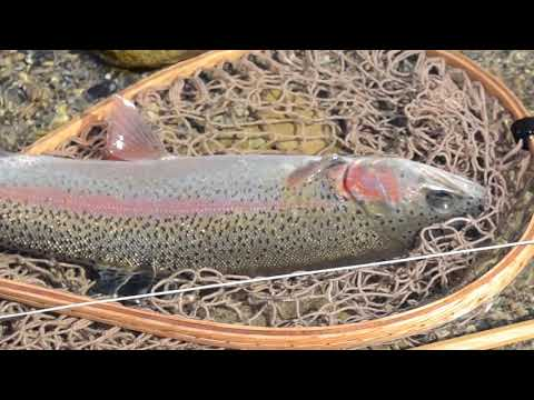 Rainbow Trout Fly Fishing In South Korea (Sep. 2017) 가을 동남천 플라이피싱