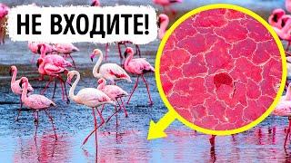 Не входите в воду, если увидите в ней фламинго!
