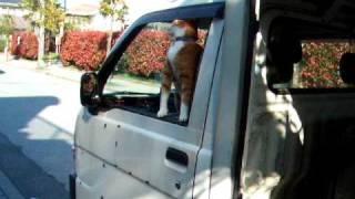 とある便利屋さんの軽トラ助手席に乗った猫。 リードなんか無しで、窓を...