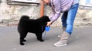 Чау-чау, щенок девочка 4 месяца.  Odessa.