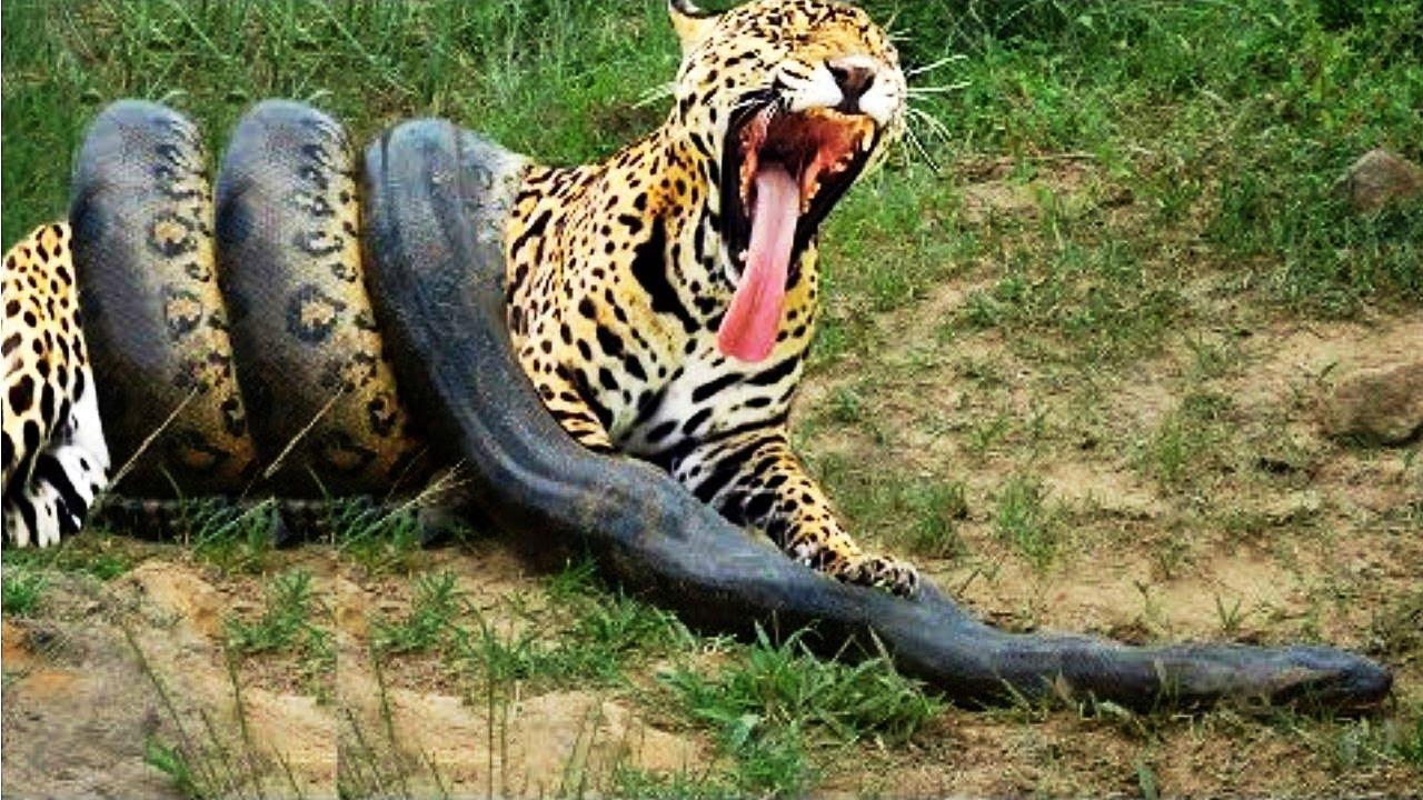 Download Best Attacks Of Leopard - Giant Anaconda vs Jaguar vs Tiger - Real Fight Wild Animal Attacks