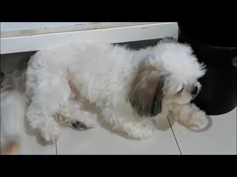 2017 Yuri 1 Year And 5 Months Old Shihtzu Youtube