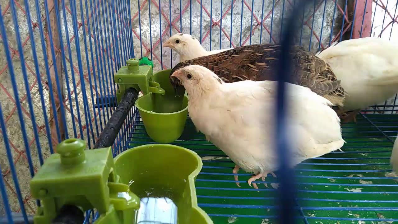 นกกระทาส ขาว ของแปลกท ต องม 08 7399 4841 Youtube นกกระทา