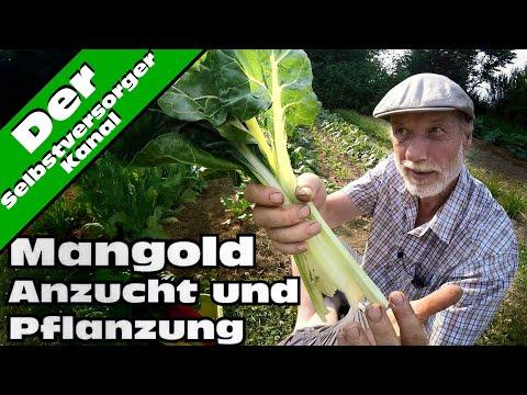 Mangold  Anzucht und Pflanzung und Test