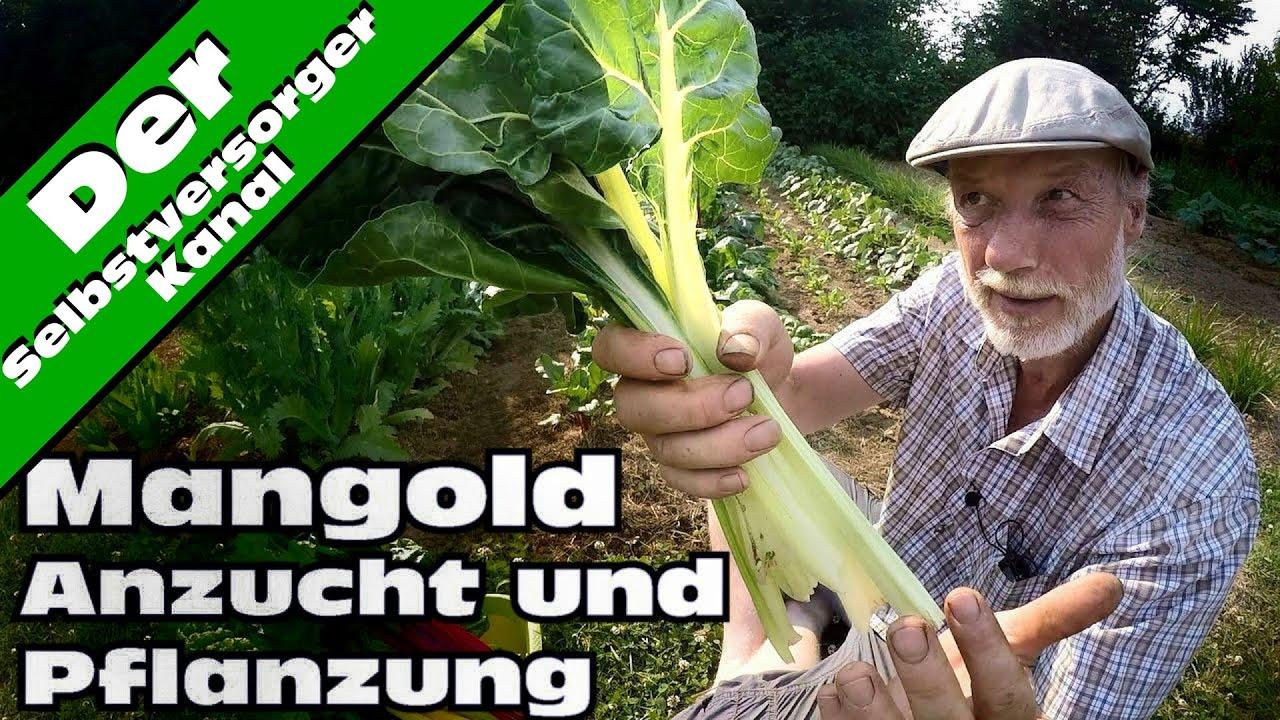 Mangold Anzucht Und Pflanzung Und Test Youtube
