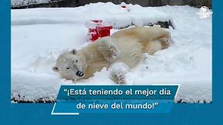Oso polar disfruta nevada en zoológico de EU