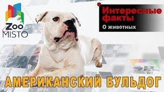 Американский бульдог - Интересные факты о породе  | Собака породы американский бульдог