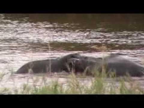 Hippo Snog - Kruger Park