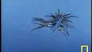 Sea Turtle Attacks Man-o-War