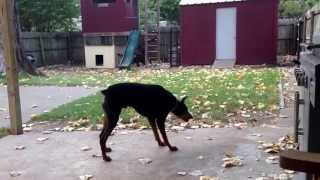 Male Doberman - Zeus. Mean Bark