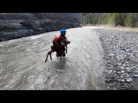 Kayakers Rescue Drowning Moose Calf From Frigid Canadian River