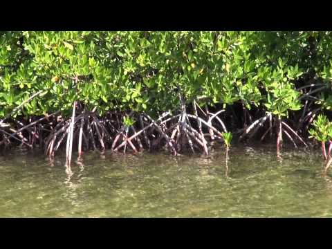 Disney Cruise Line Mangrove Forest Excursion Grand Cayman