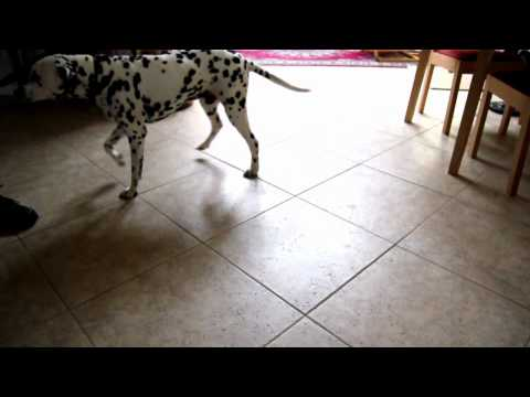 Dog does happy dance when it's time for walk