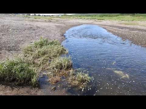 видео: Ход Лосося (Горбуша) из бухты в речку на нерест