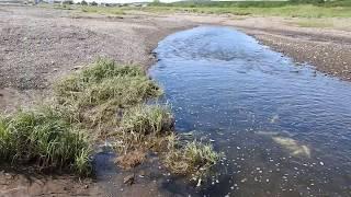 Ход Лосося (Горбуша) из бухты в речку на нерест