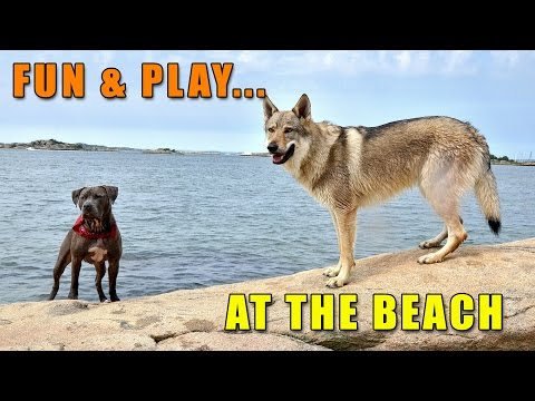 Czechoslovakian Wolfdog Lovec and American Bully Bonita II, Playing Dogs at the Beach