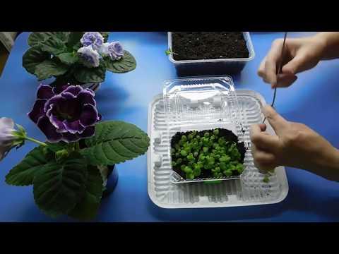 🌹🌹🌹РАССАДА МАРГАРИТКИ ! ВЫРАЩИВАНИЕ из семян в домашних условиях