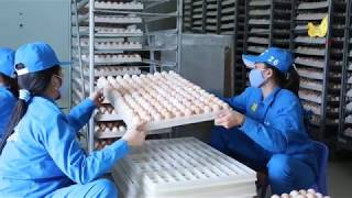 Gà ta Minh Dư - Thương hiệu dẫn đầu cung cấp gà giống chất lượng cao