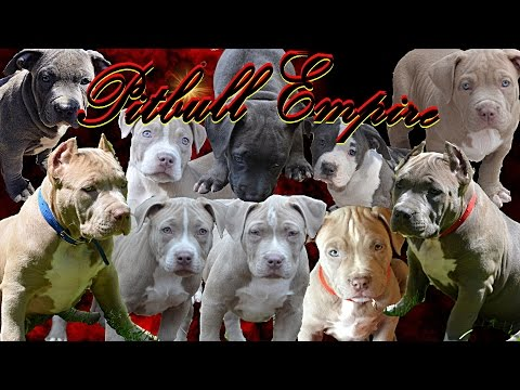 Pitbull Puppies For Sale XL Bully PitBull