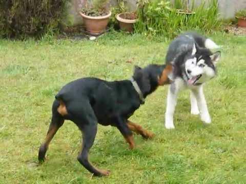 Siberian Husky vs Doberman