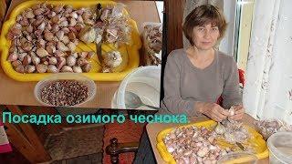Подготовка и посадка озимого (зимнего) чеснока.