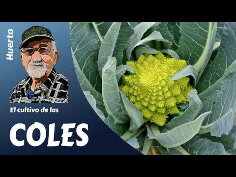 EL CULTIVO DE LAS COLES - Guía completa- (miquera73)