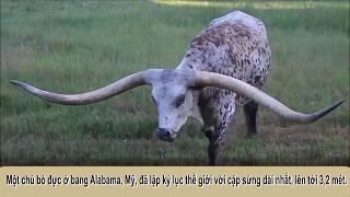 Kỷ lục guinness- Chú bò có cặp sừng dài nhất thế giới