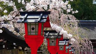 KYOTO JAPAN CHERRY BLOSSOM 満開の京都の桜 (sakura) 日本の桜 京都観光