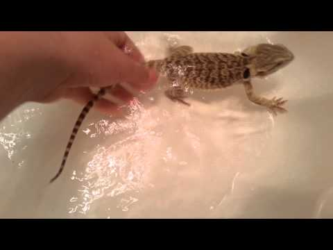 How to PROPERLY Give your Bearded Dragon a Bath
