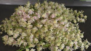 Гидролат из цветов каштана конского (паровая вытяжка из каштана)