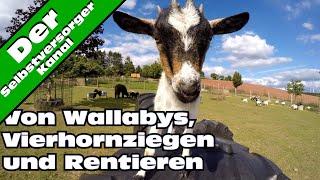 Von Wallabys, Vierhornziegen und Rentieren