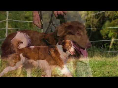 The Amazing World of Animals - Aidi