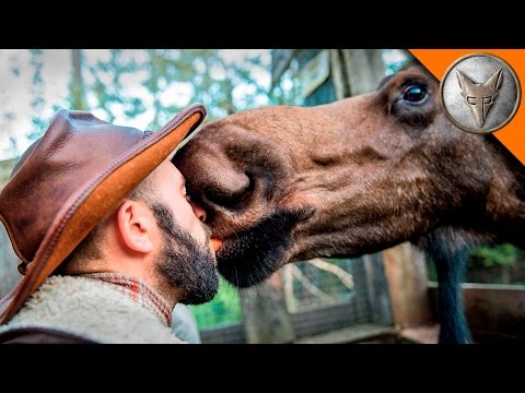I KISSED A MOOSE, and I LIKED IT!