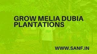 Grow Melia Dubia | Malabar Neem Plantations