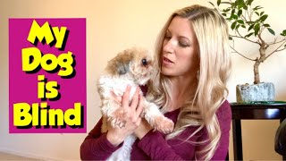 How to Care for a Blind Dog (My Imperial Shih Tzu Lost Her Eyesight)