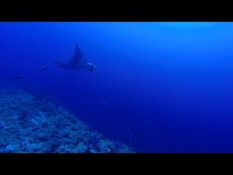 Manta and Grey Reef Shark at Elphinstone by Bahi and Moataz