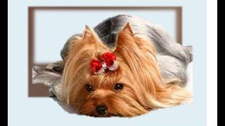 Укус клеща .Пироплазмоз собак, или бабезиоз собак . 14 06 2014 год(Піроплазмоз. Бабезіоз . 14 06 2014 р Кліщі є паразитами. Найвідомішими з них є іксодові кліщі. Близько половини..., 2014-06-17T18:24:04.000Z)