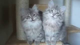 Купить сибирского котёнка - видео 10