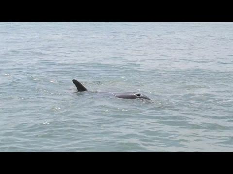Dolphin attacks human??Sanibel Island Florida