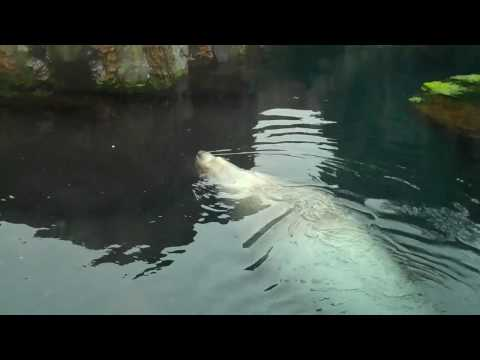 Woody the Steller Sea Lion
