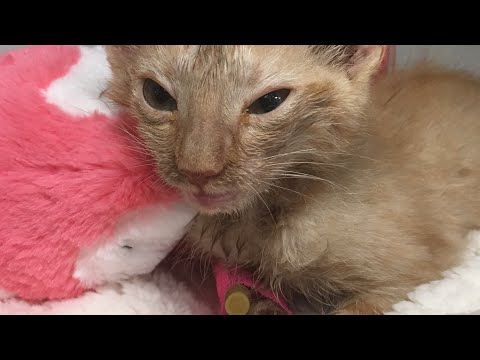 Foster Kitten Peanut Gets Comfort Blanket and Stuffed Animal at Hospital