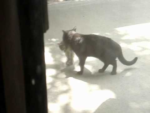 Black Bombay Cat Catches A Squirrel