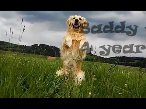 Golden retriever Baddy  dog tricks