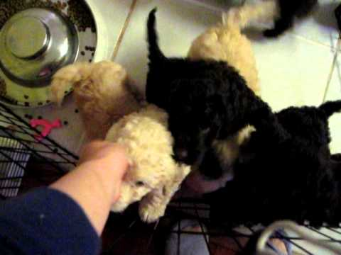 Australian labradoodle puppies for sale northern california